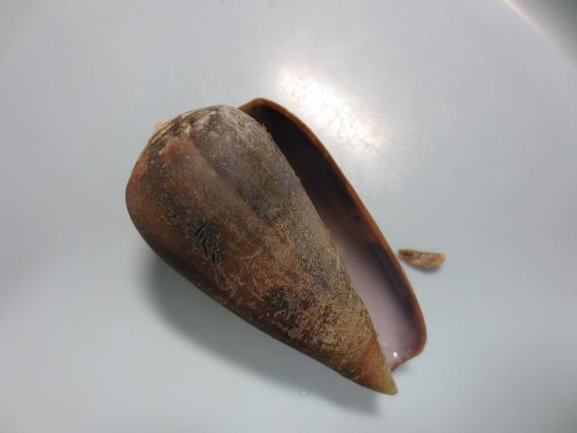 ベッコウイモ