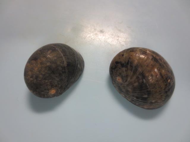 ニシキアマオブネ