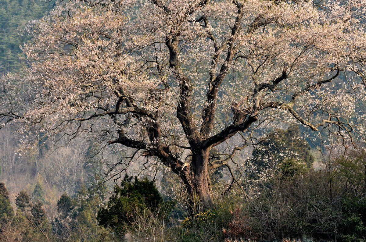たねまき桜 104-2gs