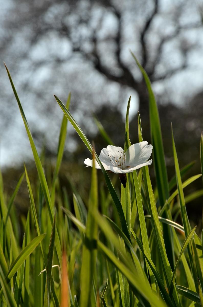 たねまき桜 419s