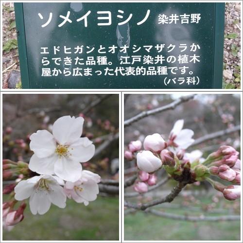 20140330ソメイヨシノ
