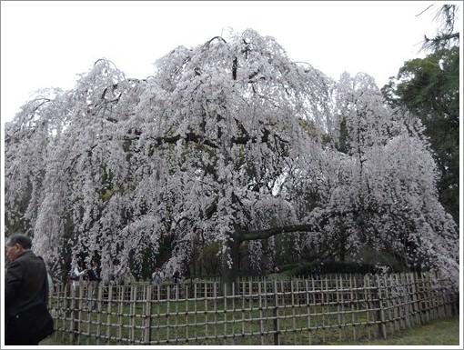 20140330桜③