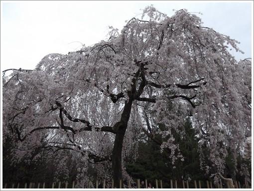 20140330桜②