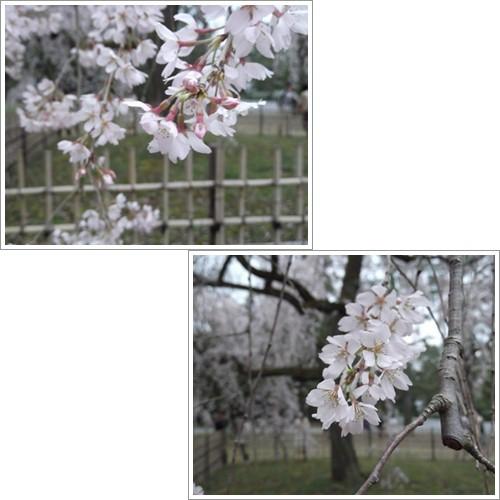 20140330桜