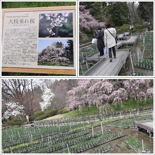 20140330大枝垂れ桜