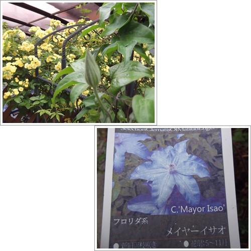 20140421もっこう薔薇花壇メイサーイサオ