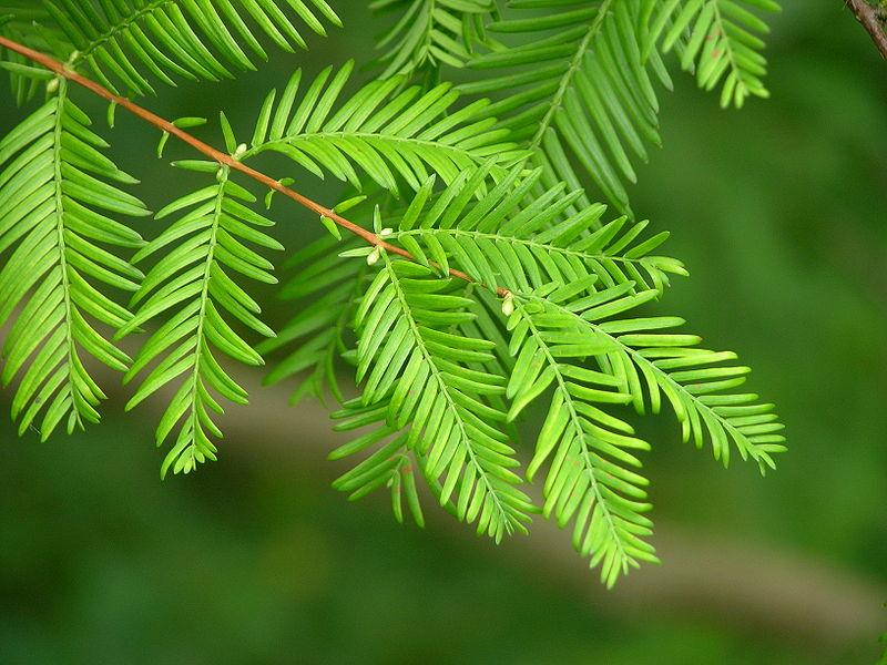 メタセコイアの葉