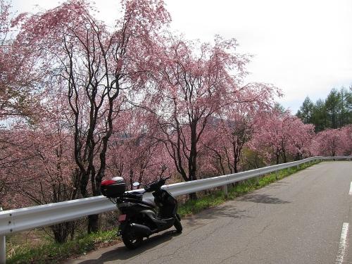 木曽川川上り 味噌川ダム近くの梅の木