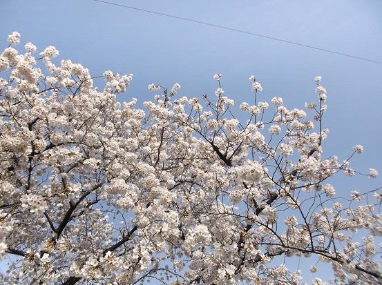 桜1001