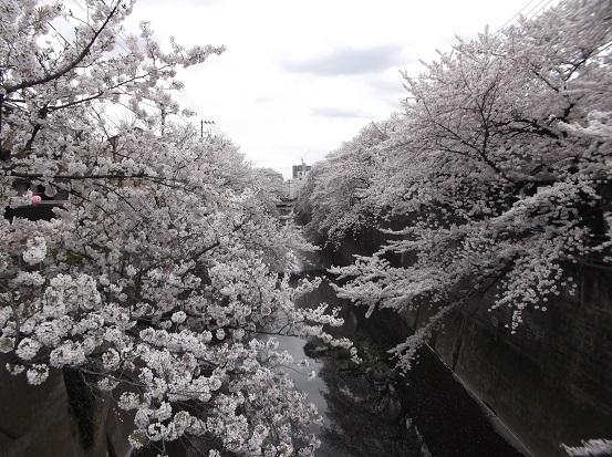 桜1017
