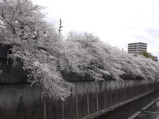 桜1050