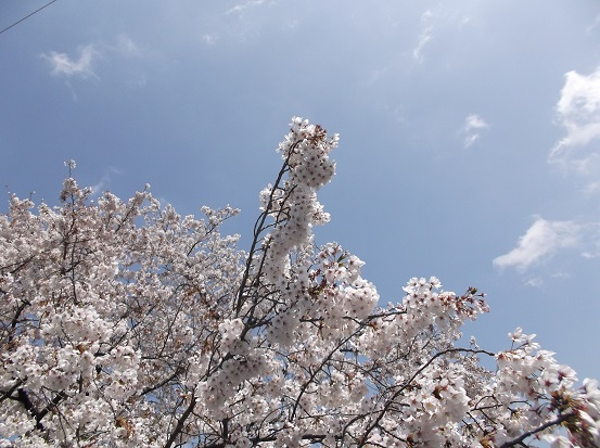 桜1159
