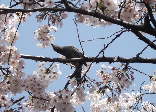 桜1141