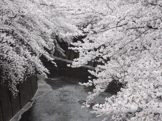 桜1108