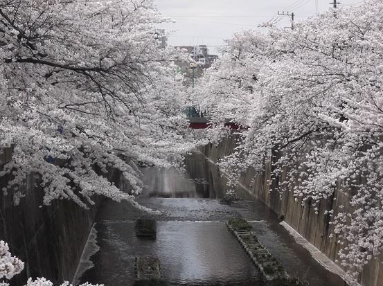 桜1009