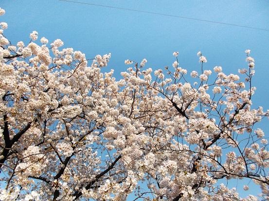 桜1002