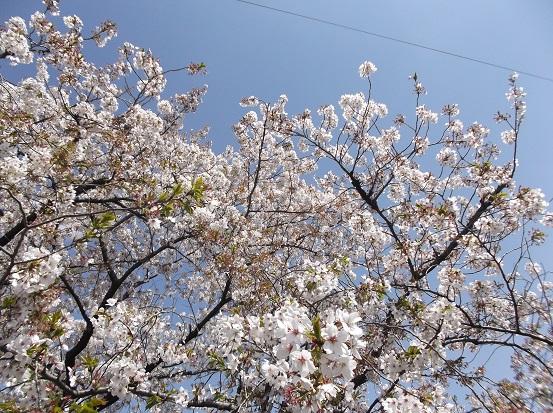 桜1218