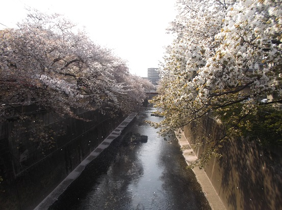 桜1270