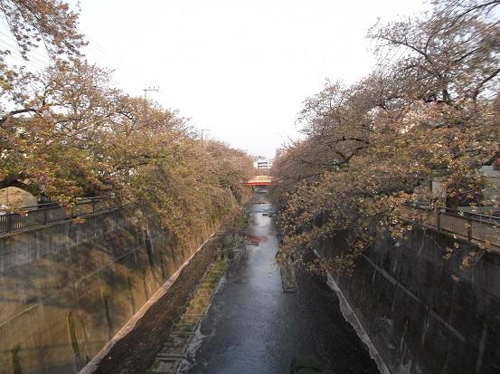 桜1351
