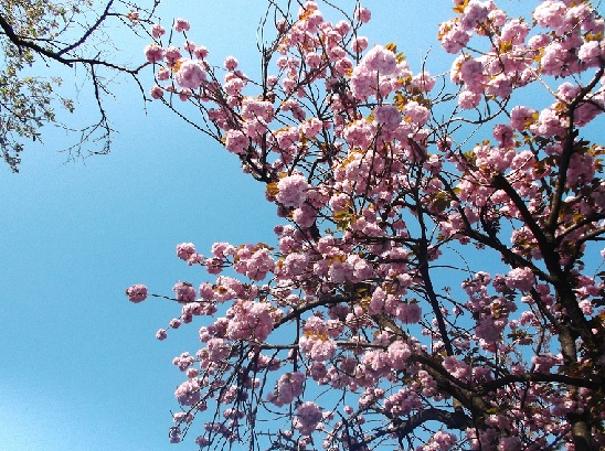 桜1389