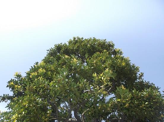 樹1581