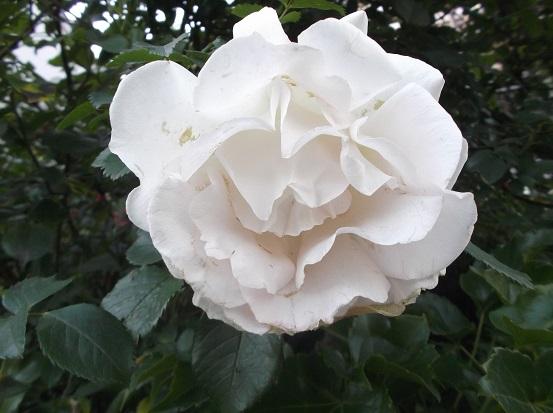 花1836