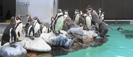 わらわらペンギンさん。