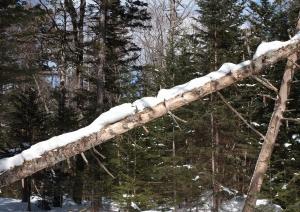 積雪による倒木?