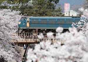 夙川にて桜とコラボ(EF66-33)