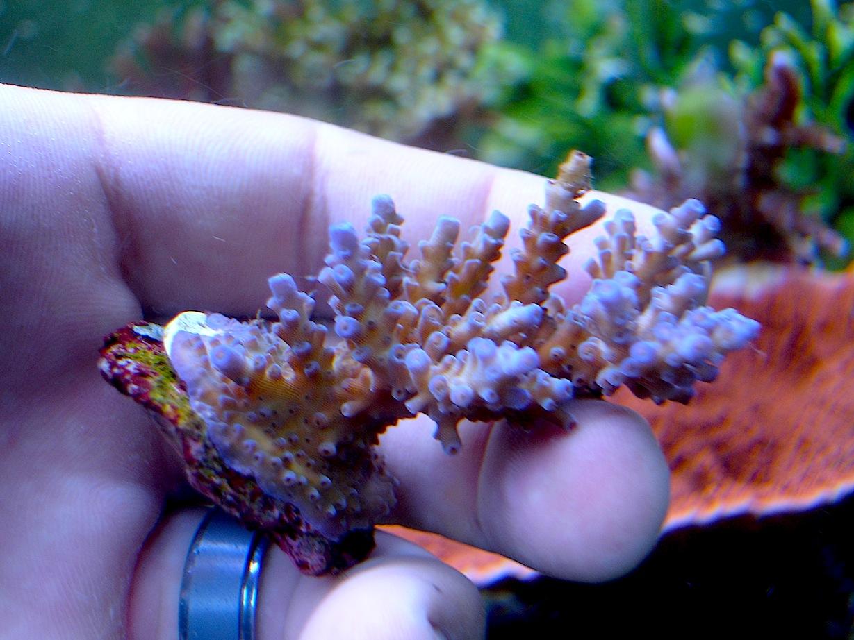 Acropora-Coral-Frag.jpg