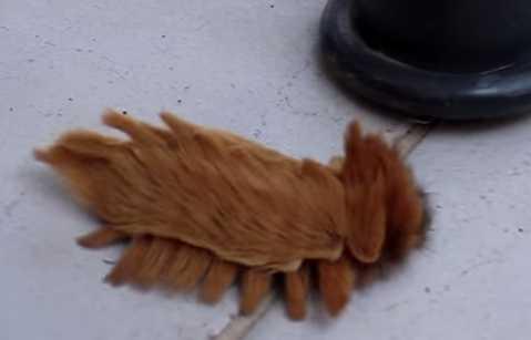 サザン フランネル モス の 幼虫