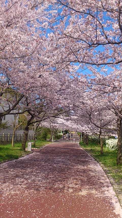 桜20140419