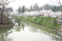 上田市 千本桜まつり