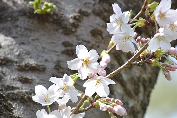 満開直前の桜