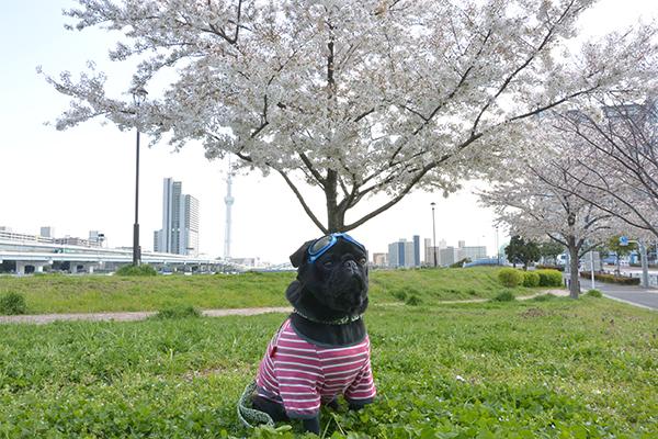 うるまと桜
