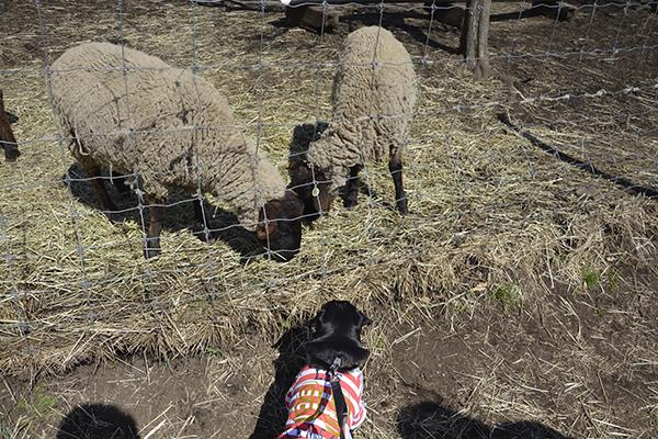 羊さんこんにちはー