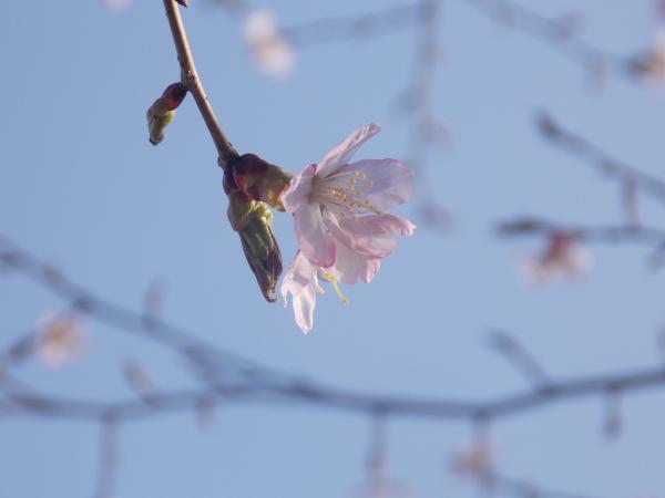 4月2日桜+002_convert_20140502233239