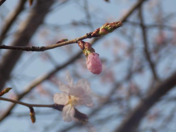 4月2日桜+004_convert_20140502233105
