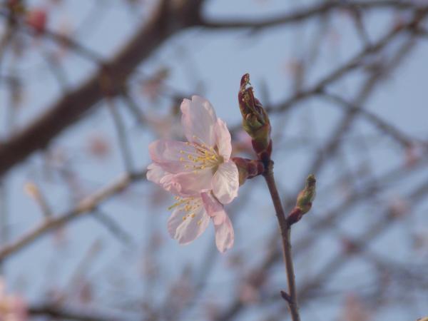 4月2日桜+007_convert_20140502233212
