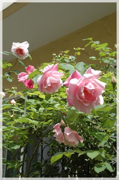 庭のピンクのバラ