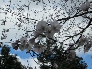 回廊の桜2