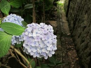 平等寺の紫陽花