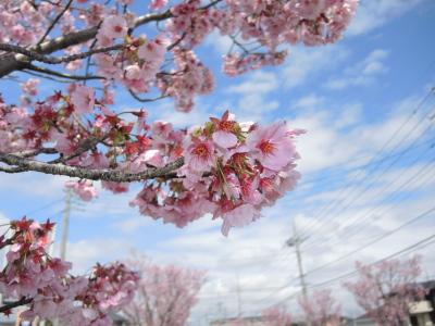 幸手久喜お花見ツアー2014_01