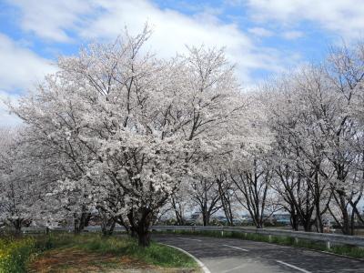 幸手久喜お花見ツアー2014_02