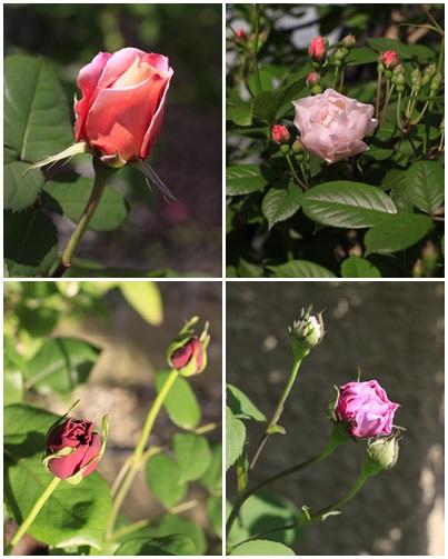 rose1a.jpg