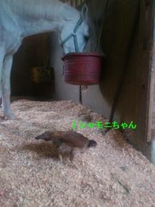 140514シャモニちゃん