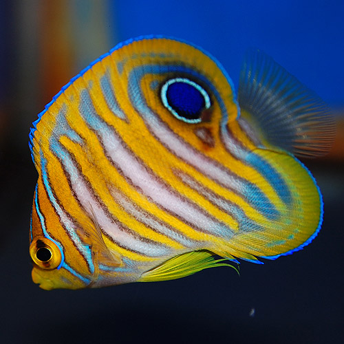 マニラ産ニシキヤッコ幼魚