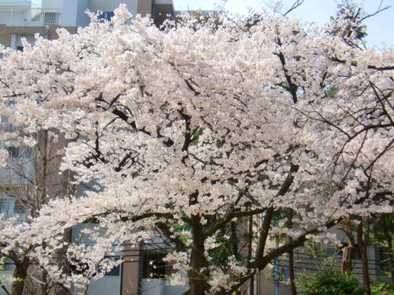 相変わらず、すごい桜だな