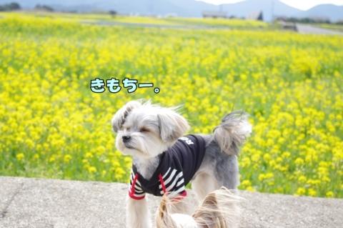 魚ヶ﨑 菜の花④