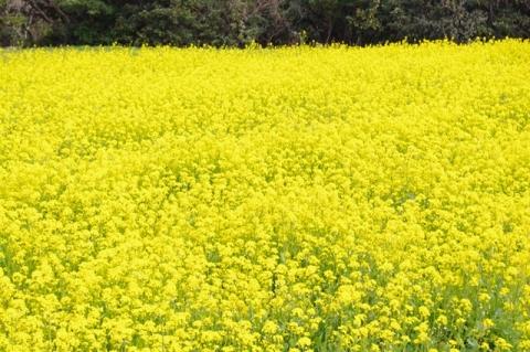 魚ヶ﨑 菜の花①